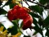 Rajské jabĺčko