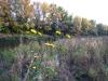 Helianthus tuberosus - Slnečnica hľuznatá (Topinambur)