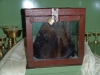 Skalp yetiho v kláštore v Kumjungu...
