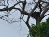 Harpye hniezdo La Bota