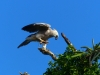 Harpye mláďa
