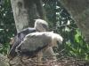 Harpye na hniezde